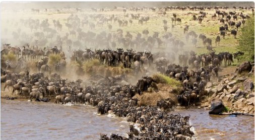 The great Wilderbeast migration from the Serengeti National Park in Tanzania to the Maasai Mara National Reserve in Kenya