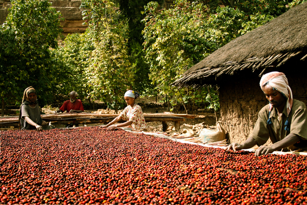 coffee marketing in ethiopia By fasika tadesse the office of the prime minister gave the direction of establishing a coffee research institute as part of reforming the entire coffee.